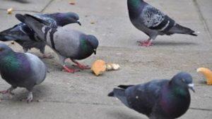 Control de aves madrid