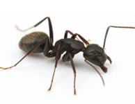 Eliminar hormiga Roger