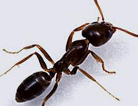 Eliminar hormiga argentina