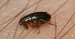 Eliminar plagas pulgas