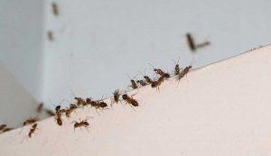 Eliminar hormigas en Madrid