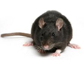 Eliminar rata negra