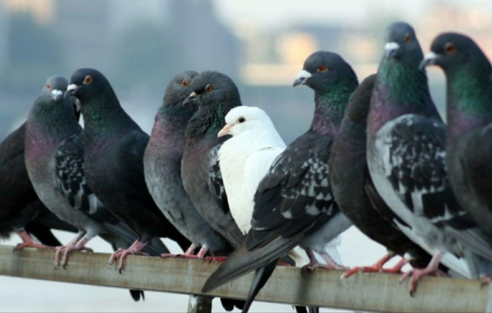las palomas afectan a la salud