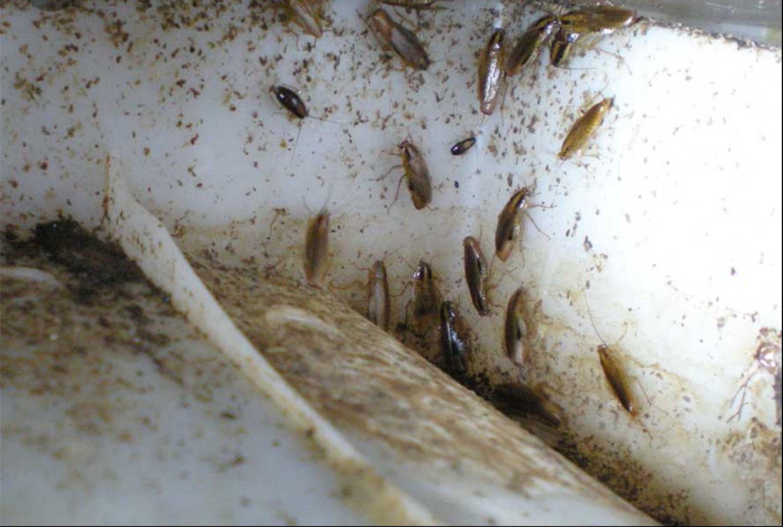 acabar-con-las-cucarachas-y-sus-huevos