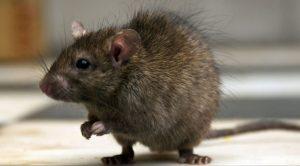 cómo-prevenir-plagas-de-ratas