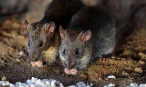 que-hacer-si tienes-ratas-en-casa